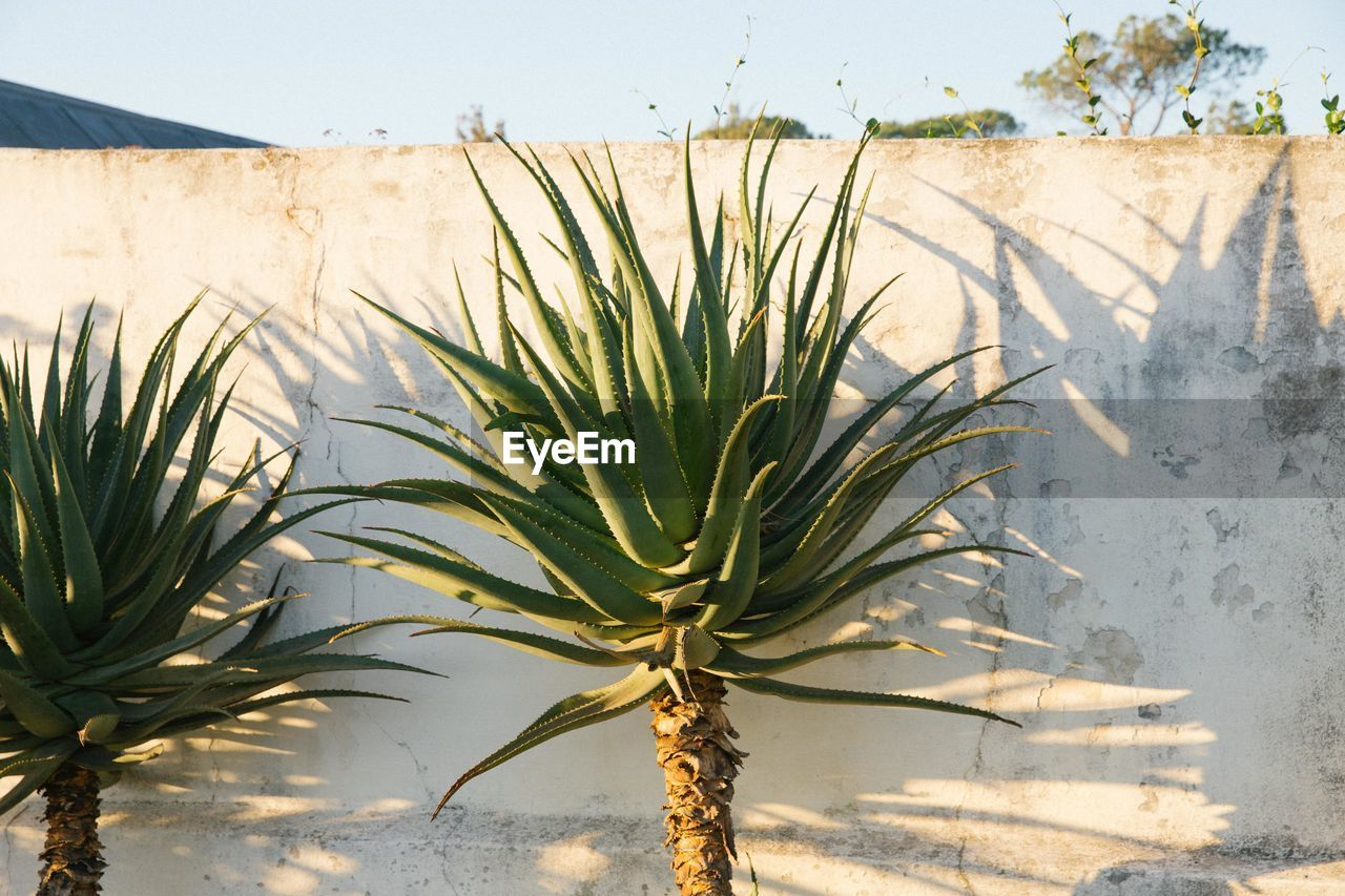 plant, growth, nature, no people, day, beauty in nature, sky, sunlight, tree, outdoors, leaf, plant part, close-up, focus on foreground, palm tree, tranquility, green color, land, wall - building feature, tropical climate, palm leaf