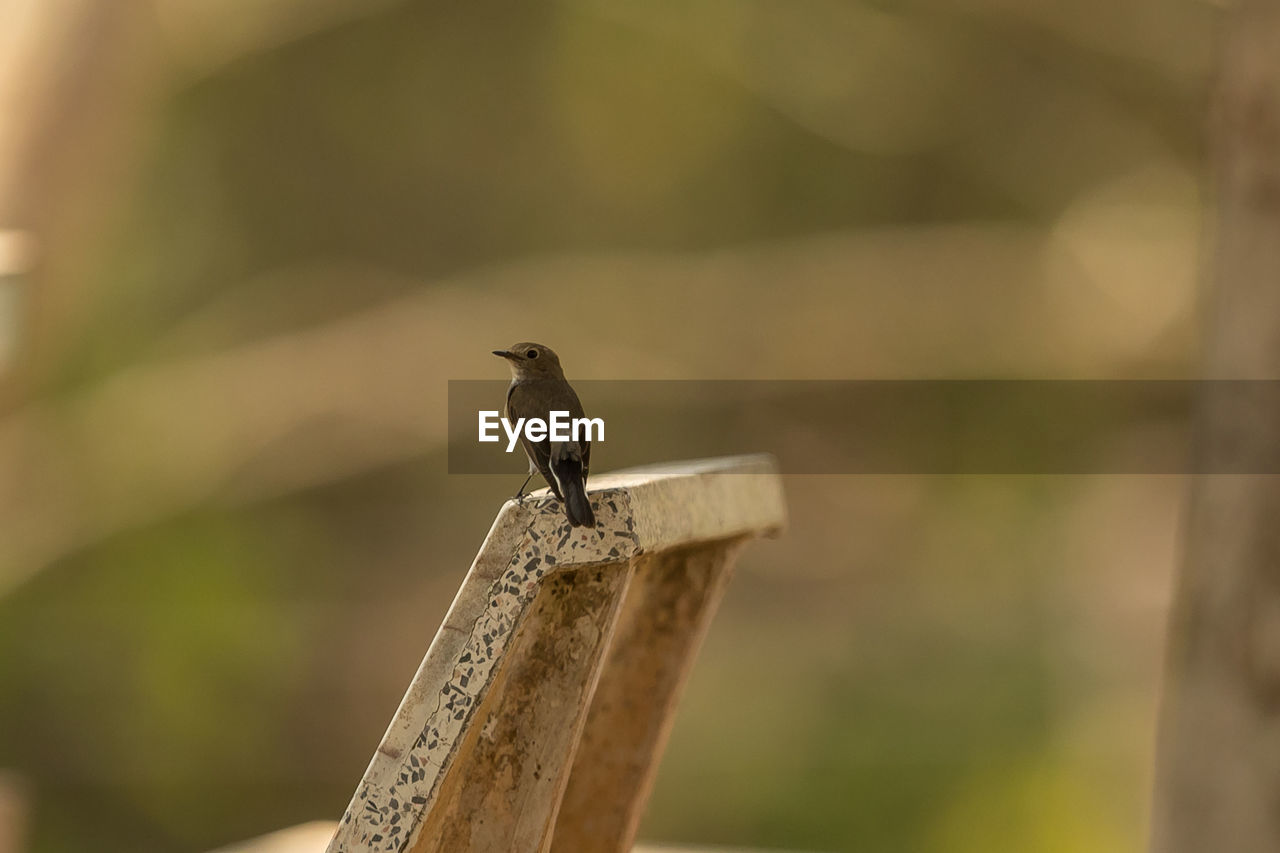 vertebrate, animal, animal wildlife, animal themes, one animal, bird, animals in the wild, perching, wood - material, focus on foreground, no people, day, nature, outdoors, close-up, selective focus, post, zoology, sparrow, looking away, wooden post