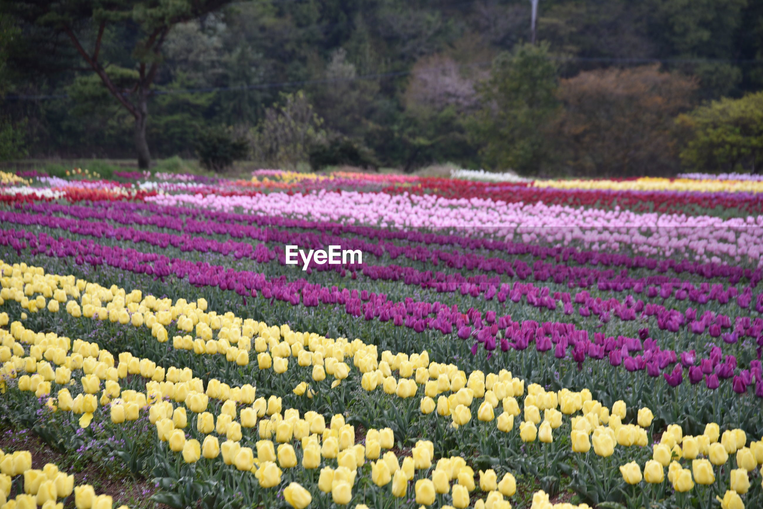SCENIC VIEW OF PURPLE TULIPS ON FIELD AGAINST ROCKY MOUNTAINS