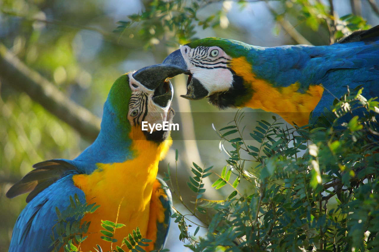 bird, parrot, vertebrate, group of animals, animal themes, two animals, animal, animal wildlife, animals in the wild, macaw, gold and blue macaw, perching, tree, focus on foreground, day, togetherness, no people, nature, plant, beauty in nature, outdoors