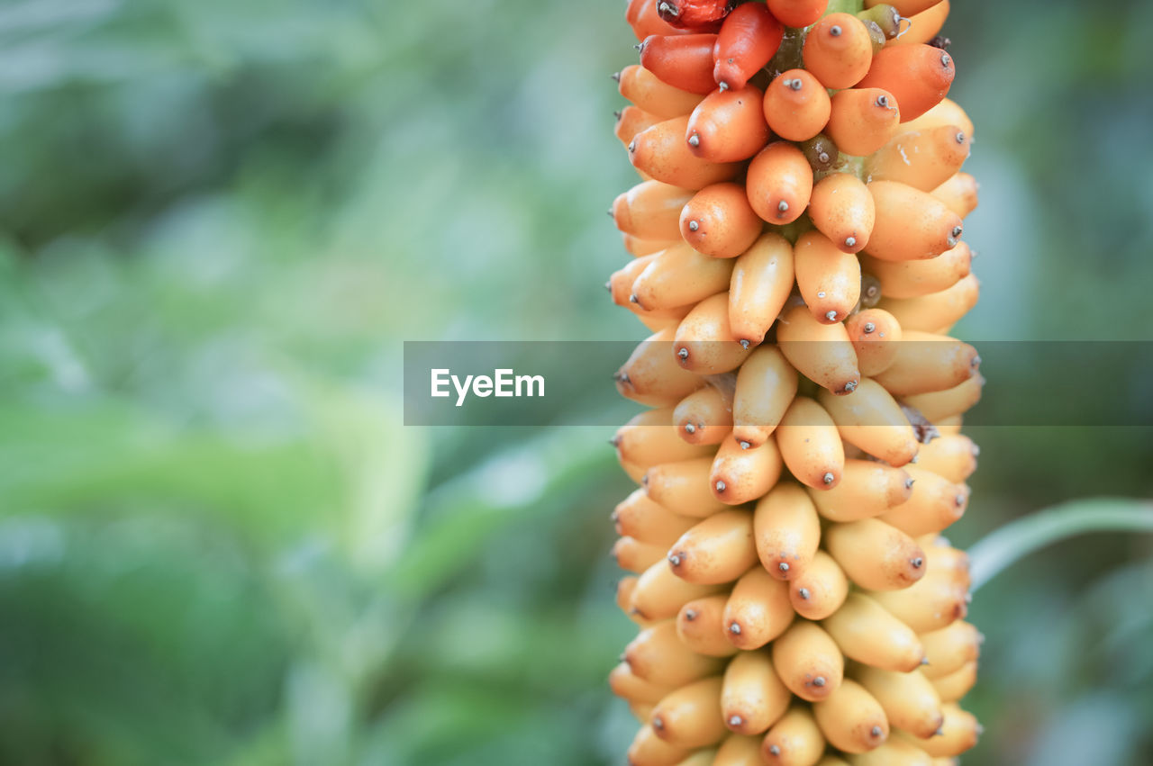 focus on foreground, food and drink, healthy eating, food, day, close-up, growth, freshness, plant, no people, nature, wellbeing, fruit, bunch, outdoors, raw food, green color, beauty in nature, selective focus, vegetable