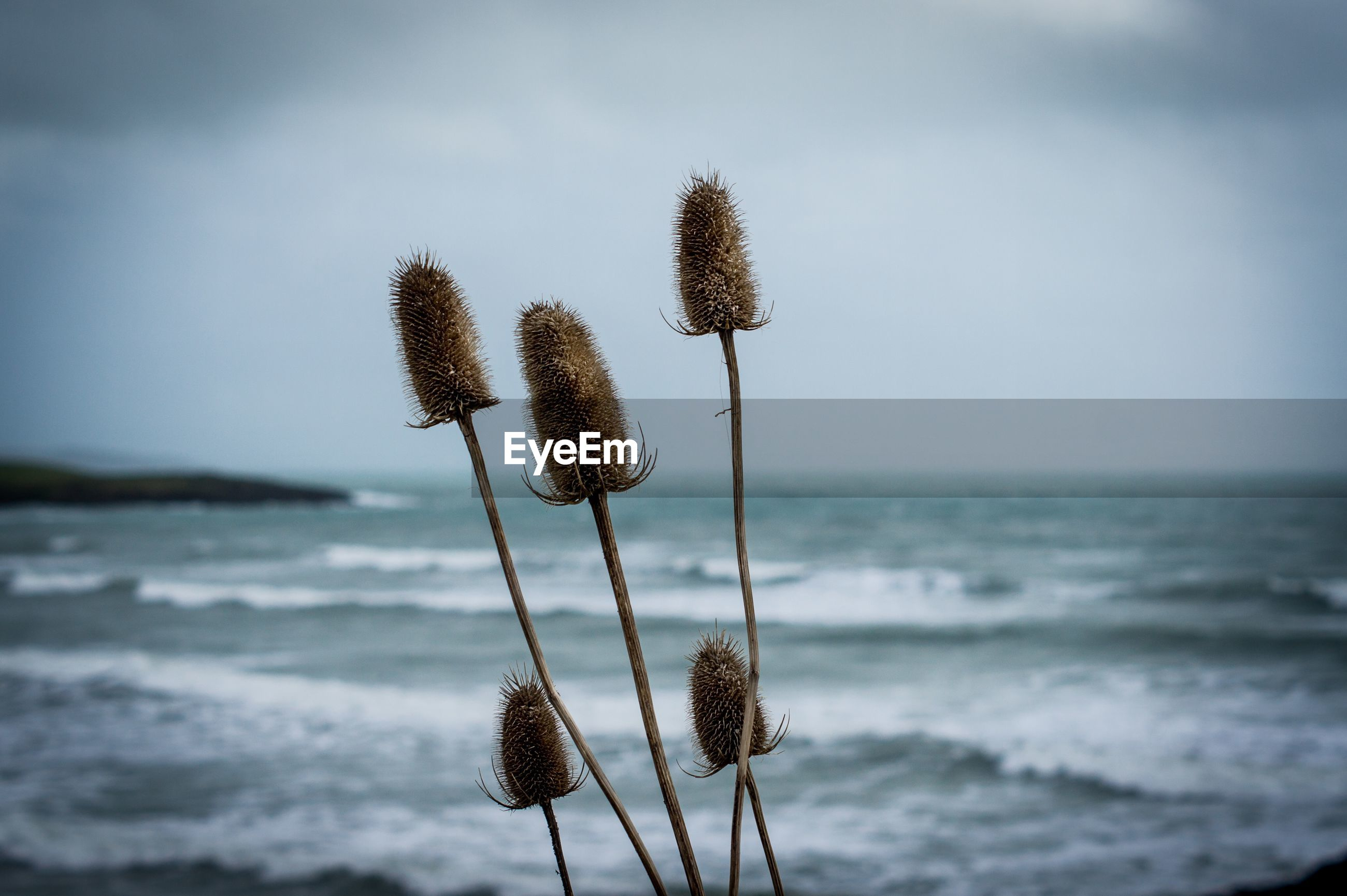 CLOSE-UP OF PLANT GROWING ON LAND AGAINST SEA