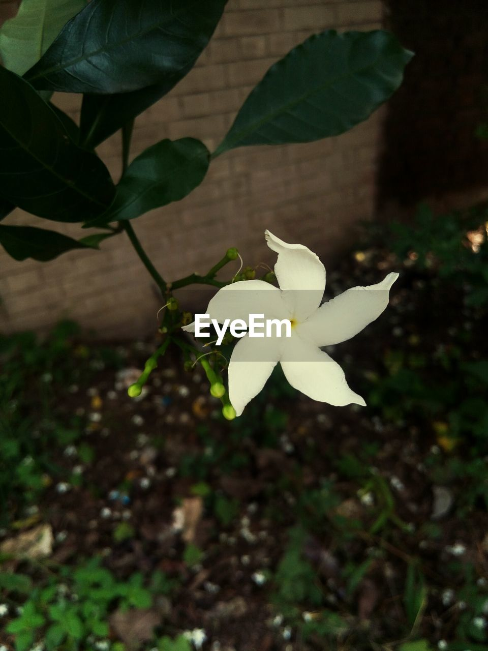 flower, petal, growth, fragility, freshness, flower head, white color, beauty in nature, leaf, nature, plant, close-up, day, no people, blooming, outdoors, springtime, branch, tree, frangipani, periwinkle