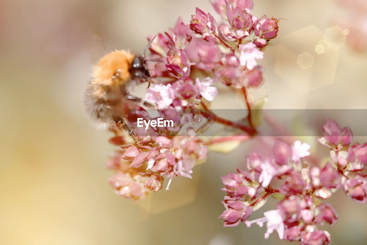 flower, flowering plant, beauty in nature, fragility, plant, freshness, pink color, vulnerability, growth, close-up, petal, animal themes, animal wildlife, nature, one animal, animals in the wild, animal, flower head, insect, no people, springtime, outdoors, cherry blossom, pollination, cherry tree