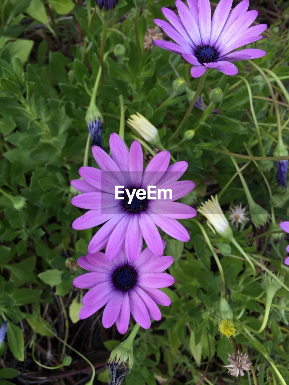 High angle view of purple osteospermums blooming outdoors