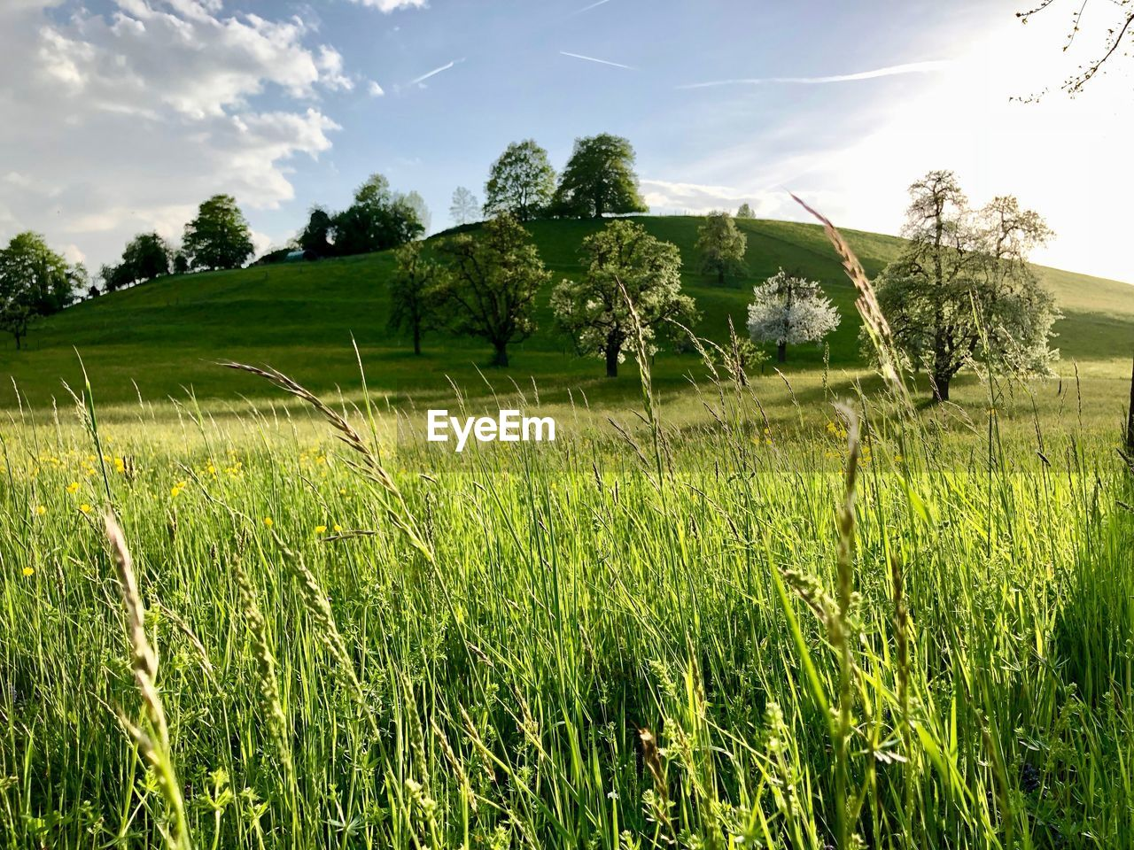 plant, sky, field, land, beauty in nature, landscape, tranquility, tranquil scene, growth, green color, scenics - nature, tree, grass, environment, nature, day, rural scene, no people, cloud - sky, agriculture, outdoors