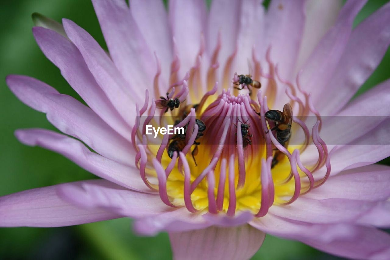 Close-Up Of Bees On Purple Flower