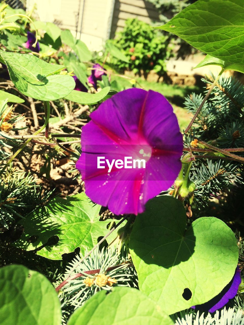 leaf, growth, flower, beauty in nature, plant, nature, freshness, purple, fragility, petal, no people, green color, flower head, day, outdoors, close-up, petunia