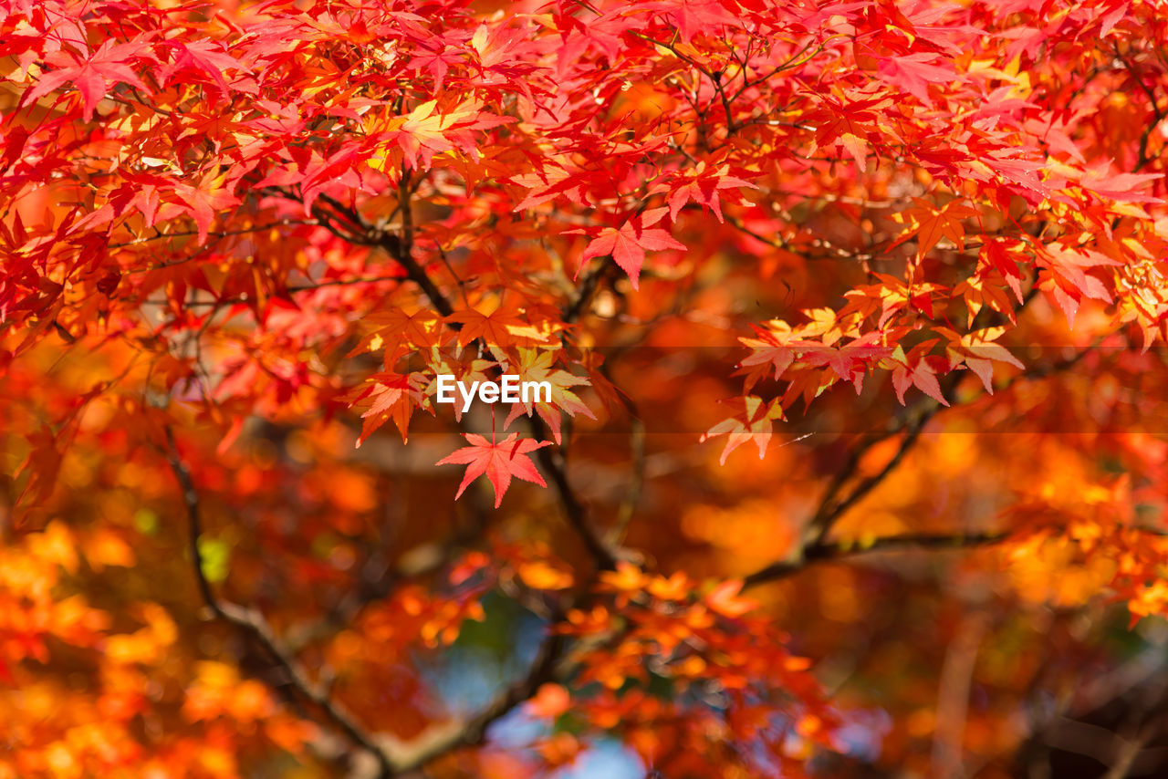 autumn, leaf, change, orange color, maple tree, maple leaf, leaves, nature, maple, beauty in nature, tree, growth, red, branch, outdoors, day, no people, close-up