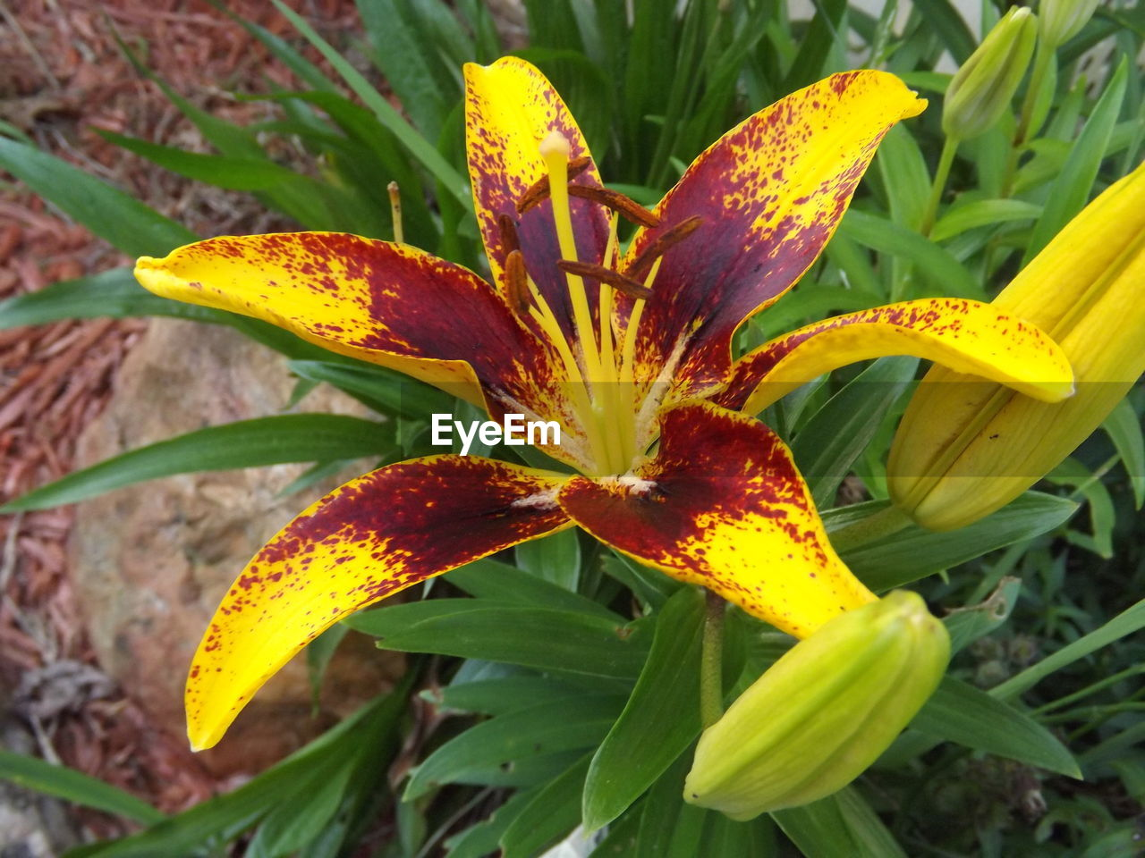 flower, growth, petal, flower head, fragility, freshness, close-up, nature, outdoors, beauty in nature, day, yellow, plant, no people, stamen, blooming, day lily