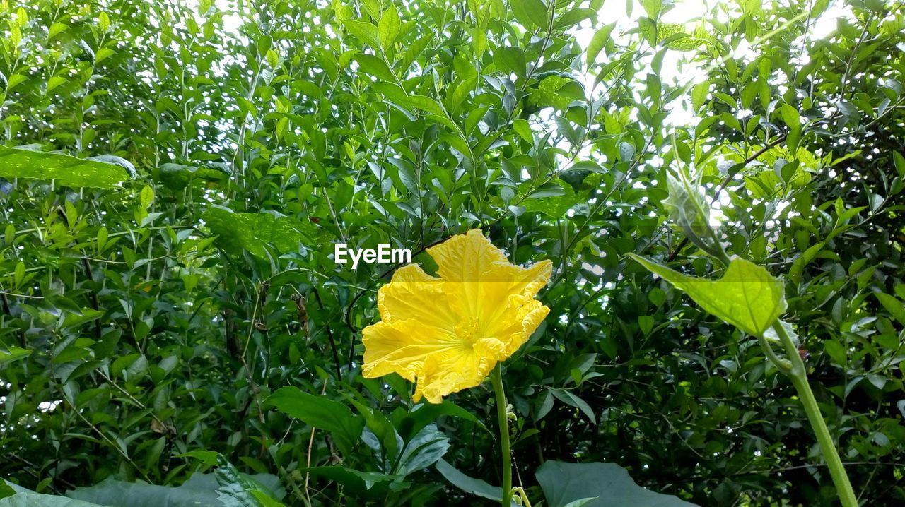 flower, yellow, growth, green color, petal, fragility, leaf, plant, freshness, nature, beauty in nature, outdoors, blooming, flower head, no people, day, close-up