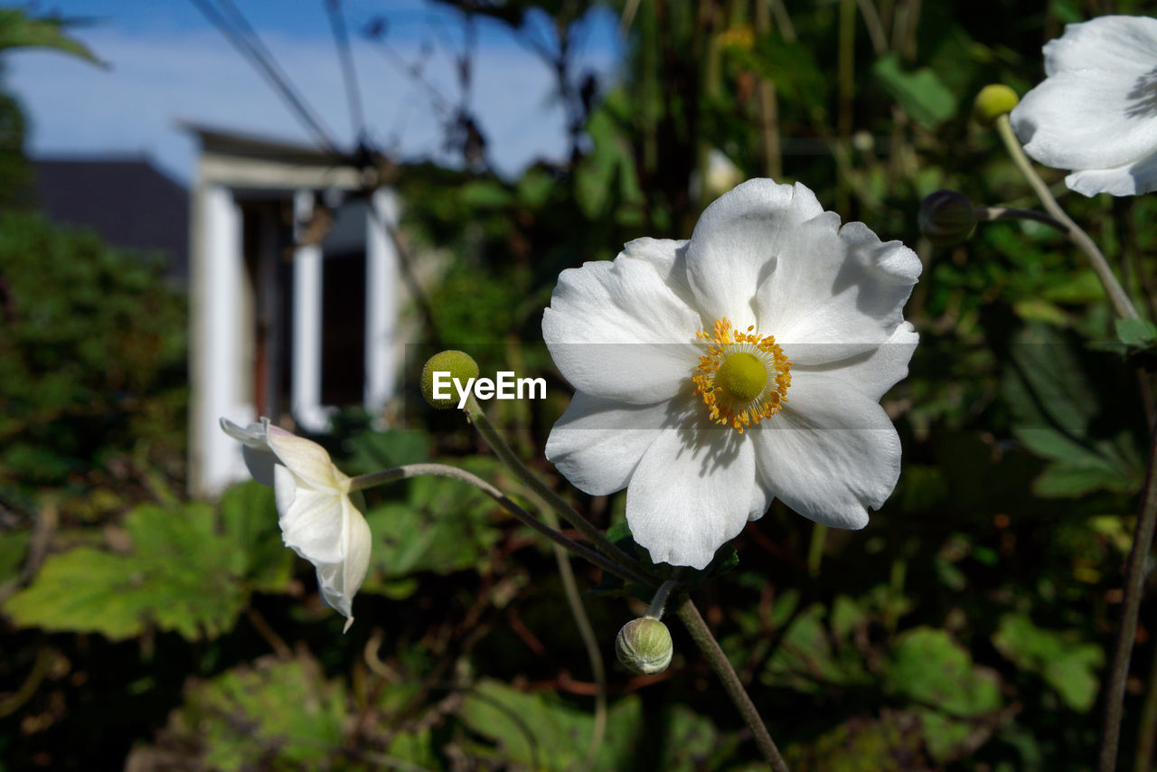 flower, white color, growth, beauty in nature, nature, petal, fragility, plant, focus on foreground, flower head, freshness, outdoors, no people, close-up, day, blooming, tree