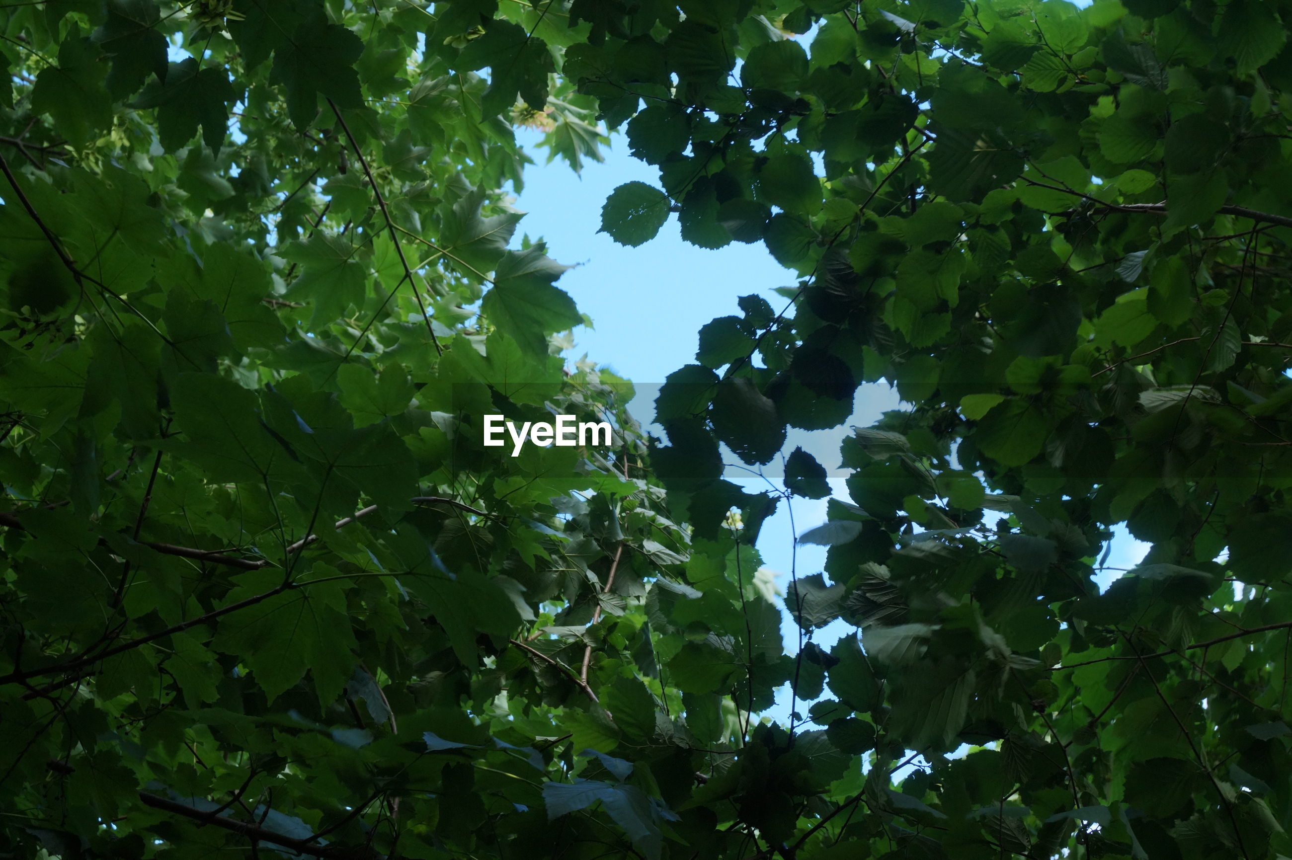 tree, nature, low angle view, growth, leaf, beauty in nature, green color, outdoors, no people, day, branch, plant, scenics, fruit, full frame, sky, clear sky, freshness
