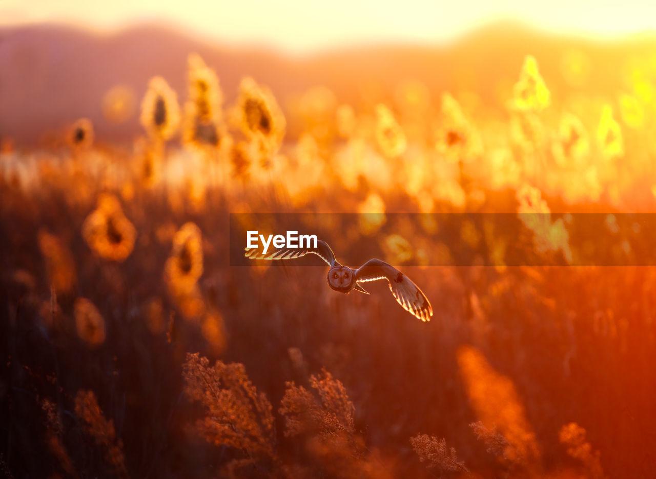 Short-Eared Owl Flying Over Field