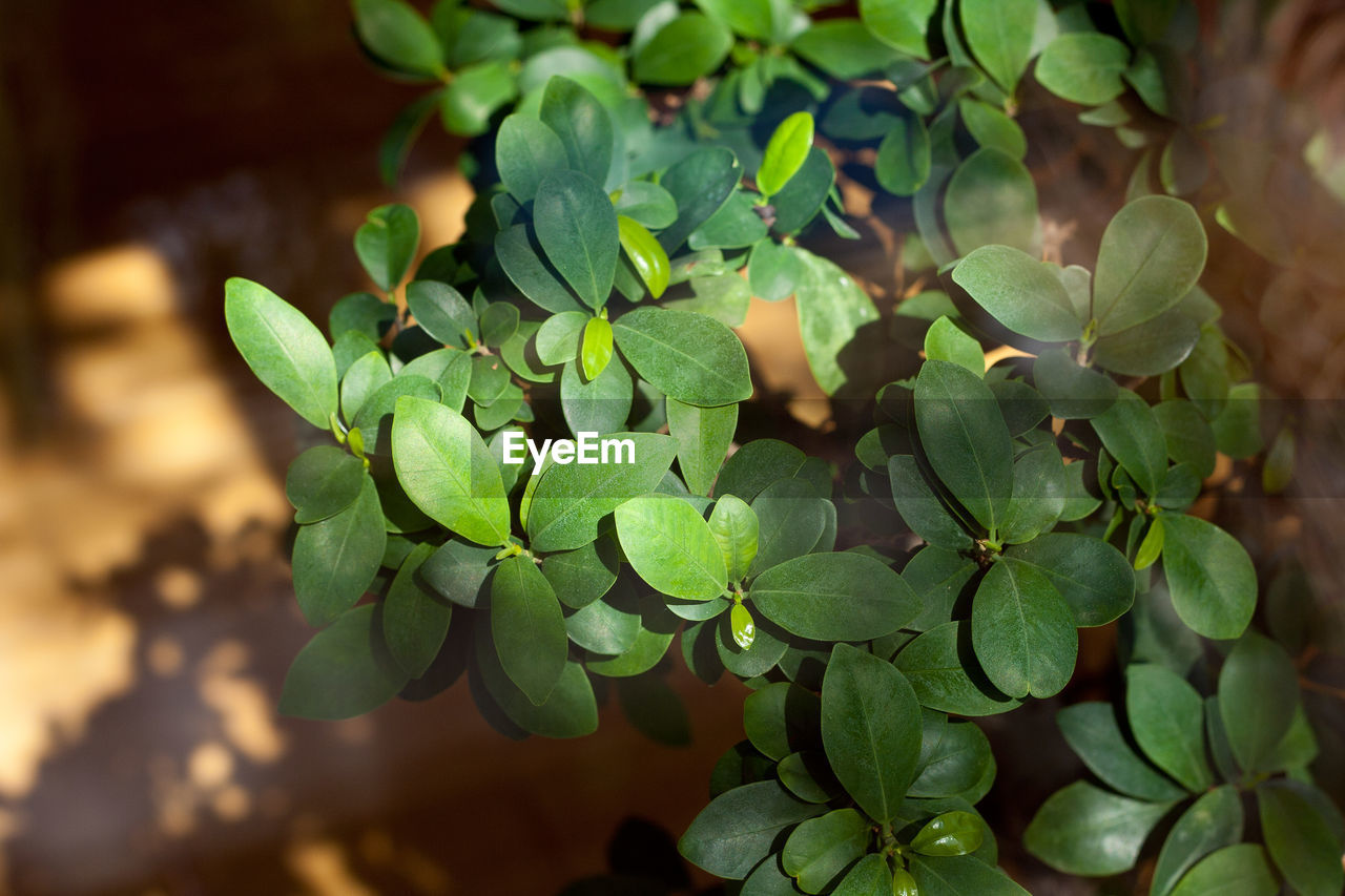 green color, leaf, plant part, growth, plant, close-up, beauty in nature, no people, nature, day, selective focus, freshness, focus on foreground, high angle view, outdoors, sunlight, food and drink, food, field, healthy eating