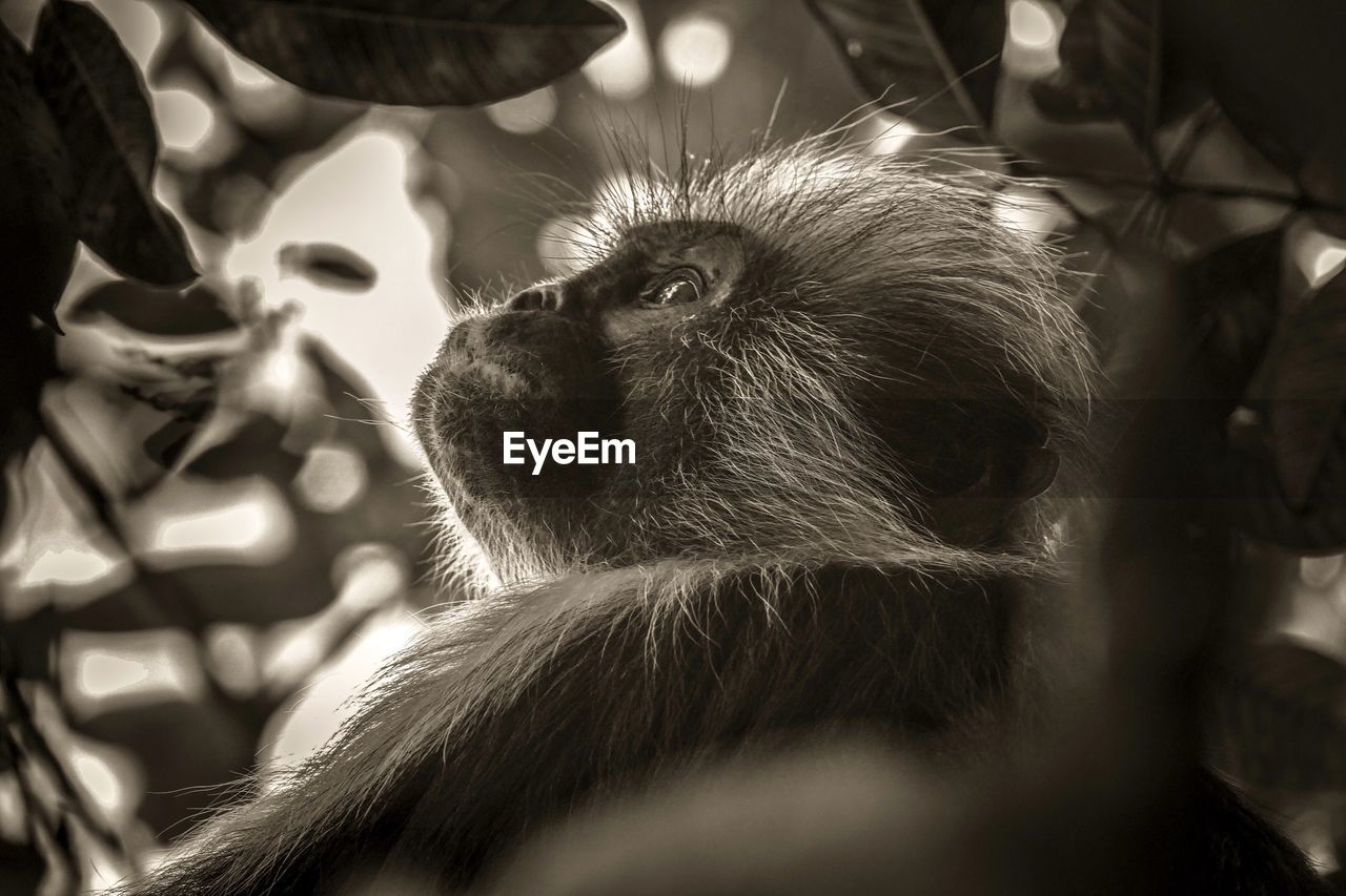 primate, mammal, vertebrate, one animal, close-up, looking, sunlight, no people, relaxation, selective focus, animal wildlife, focus on foreground, looking away, day, nature, animals in the wild