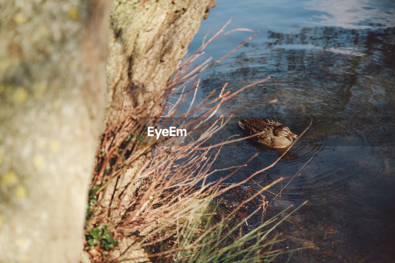 High Angle View Of Mallard Duck Swimming In Pond