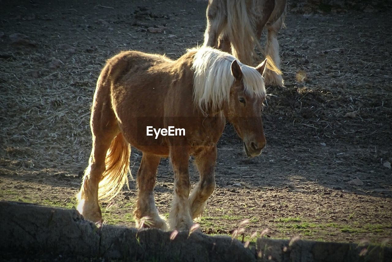 animal themes, horse, mammal, domestic animals, one animal, standing, livestock, field, no people, outdoors, day, nature
