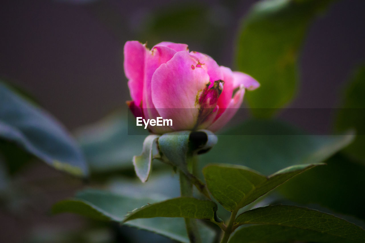 flower, petal, fragility, beauty in nature, growth, nature, plant, leaf, pink color, no people, flower head, freshness, close-up, outdoors, day, blooming