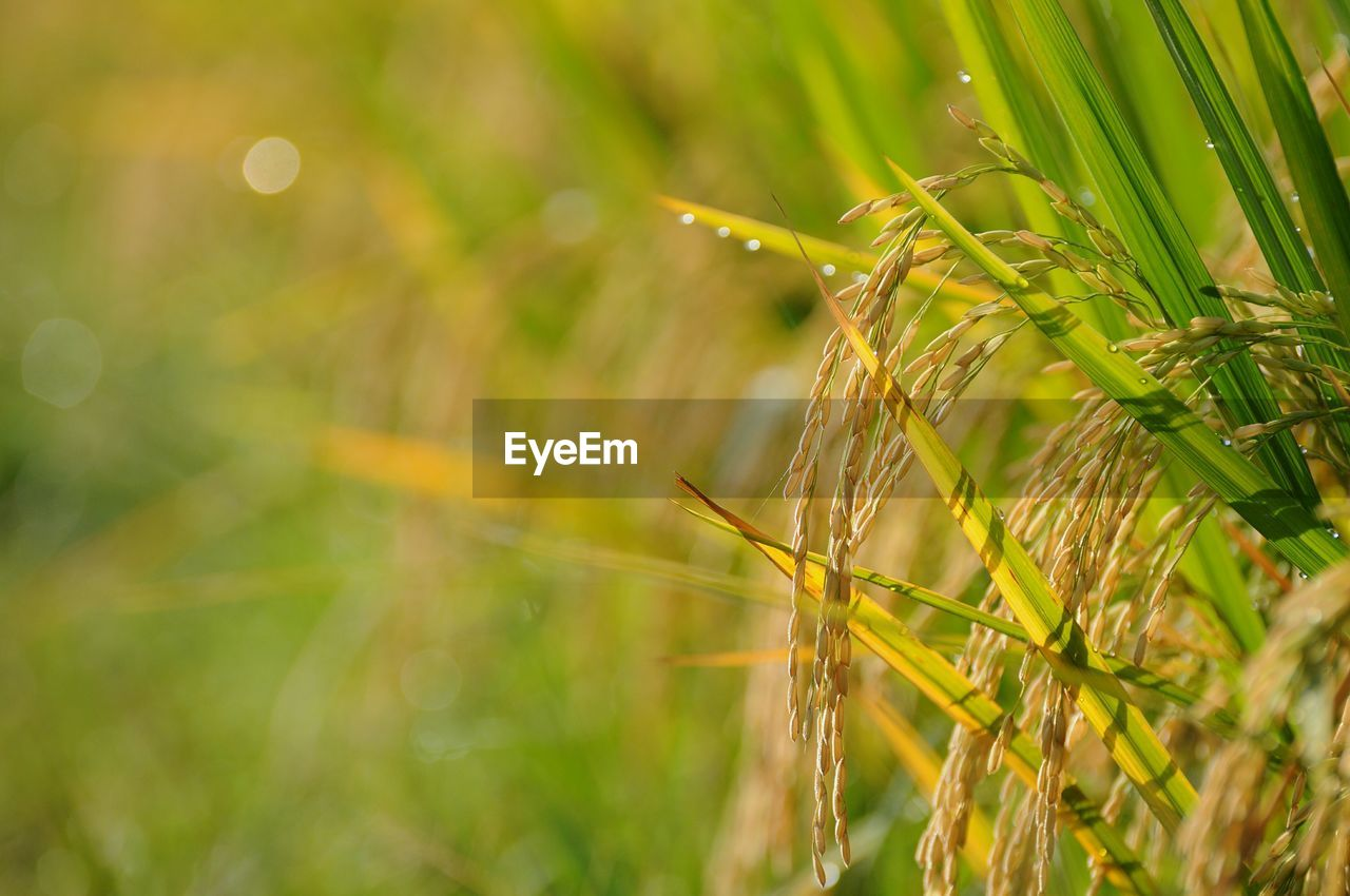 plant, growth, nature, agriculture, selective focus, crop, close-up, cereal plant, beauty in nature, field, land, green color, no people, day, wheat, tranquility, focus on foreground, rural scene, outdoors, landscape