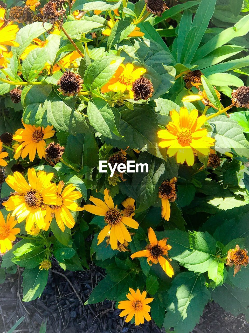 flower, growth, nature, petal, freshness, fragility, plant, beauty in nature, yellow, blooming, flower head, outdoors, high angle view, day, no people, field, leaf, close-up