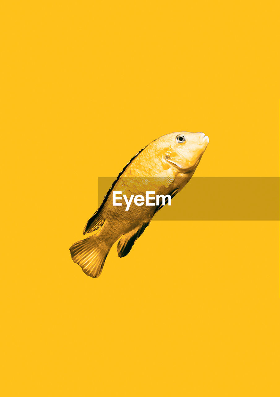 yellow, animal, one animal, animal themes, copy space, animal wildlife, vertebrate, close-up, no people, animals in the wild, studio shot, colored background, orange color, indoors, yellow background, beauty in nature, nature, cut out, fish, marine, animal eye