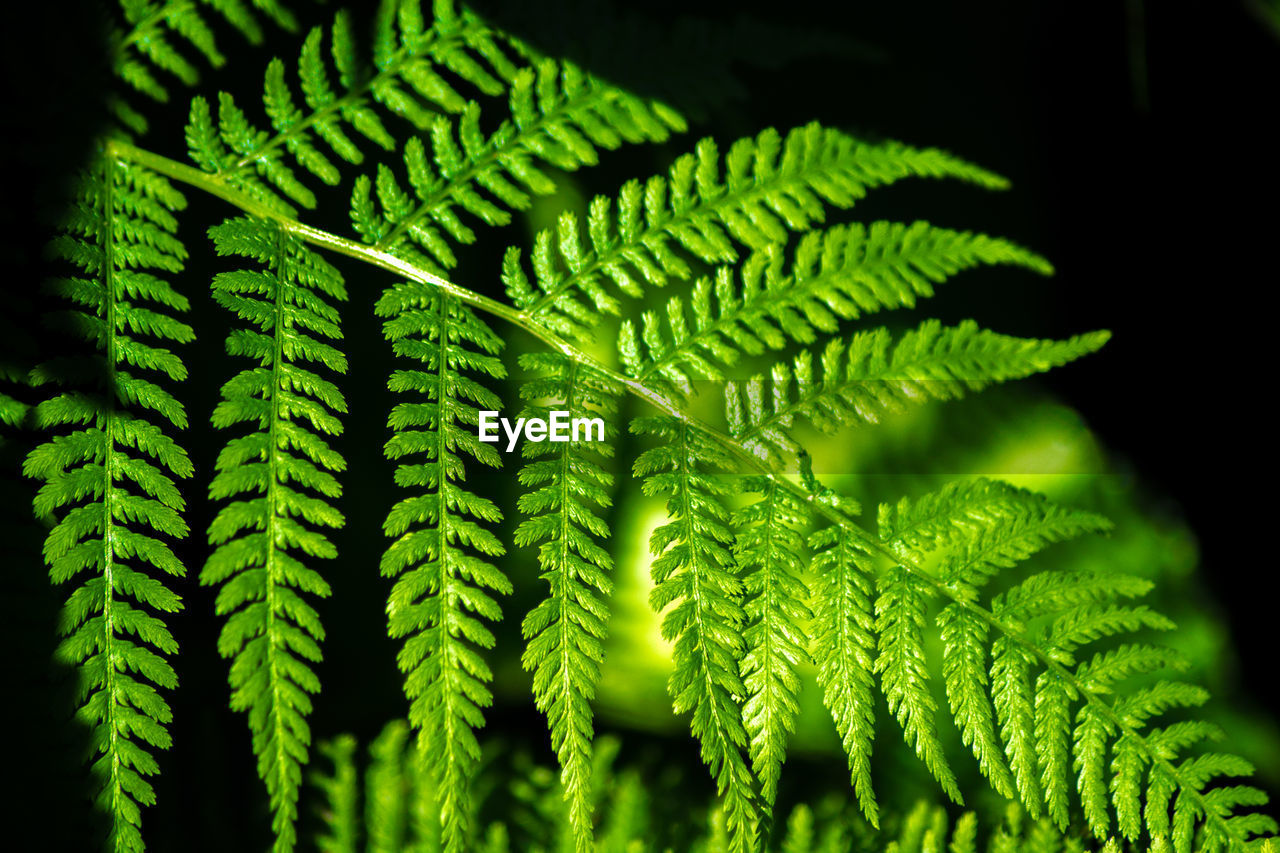 green color, leaf, growth, green, nature, fern, close-up, plant, no people, beauty in nature, day, backgrounds, freshness, outdoors