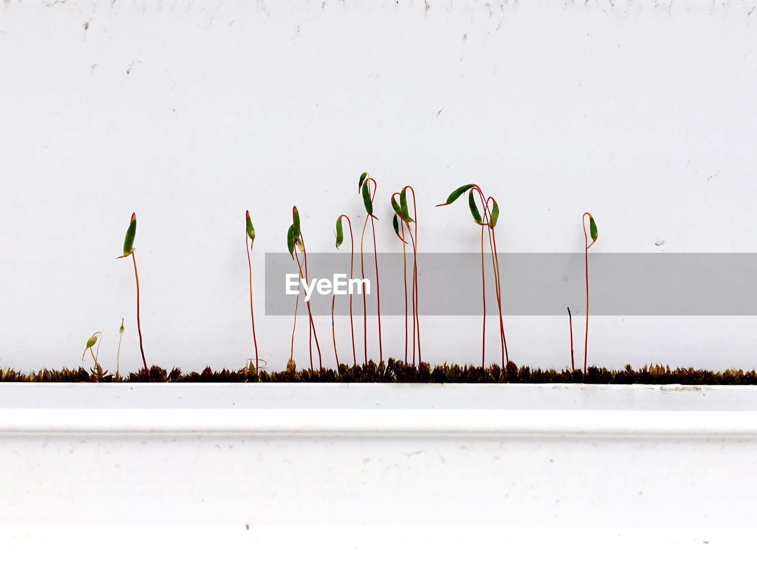 CLOSE-UP OF PLANTS AGAINST WHITE BACKGROUND