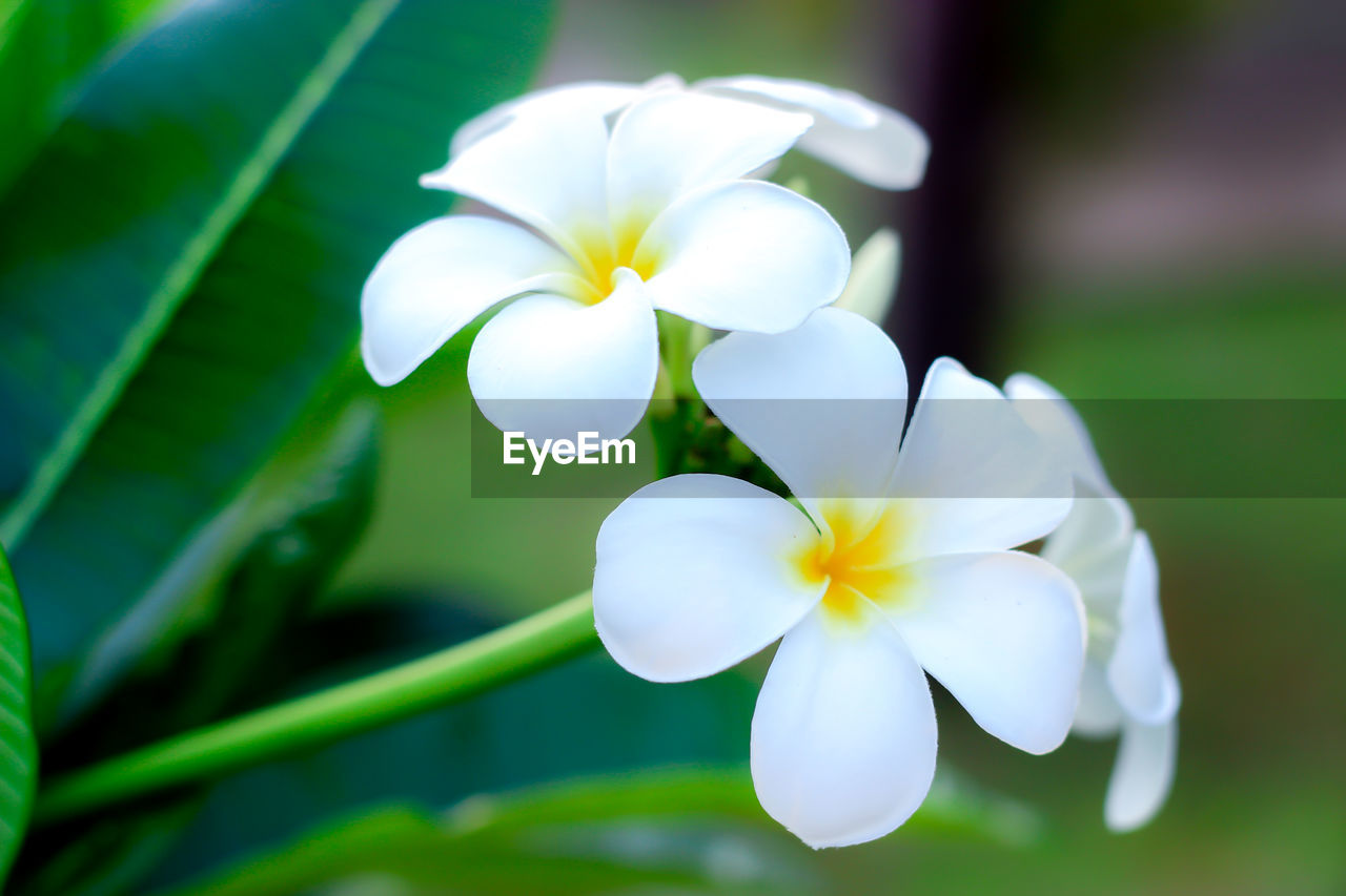 flowering plant, flower, plant, fragility, freshness, vulnerability, petal, flower head, inflorescence, beauty in nature, growth, white color, close-up, day, no people, focus on foreground, nature, frangipani, selective focus, outdoors