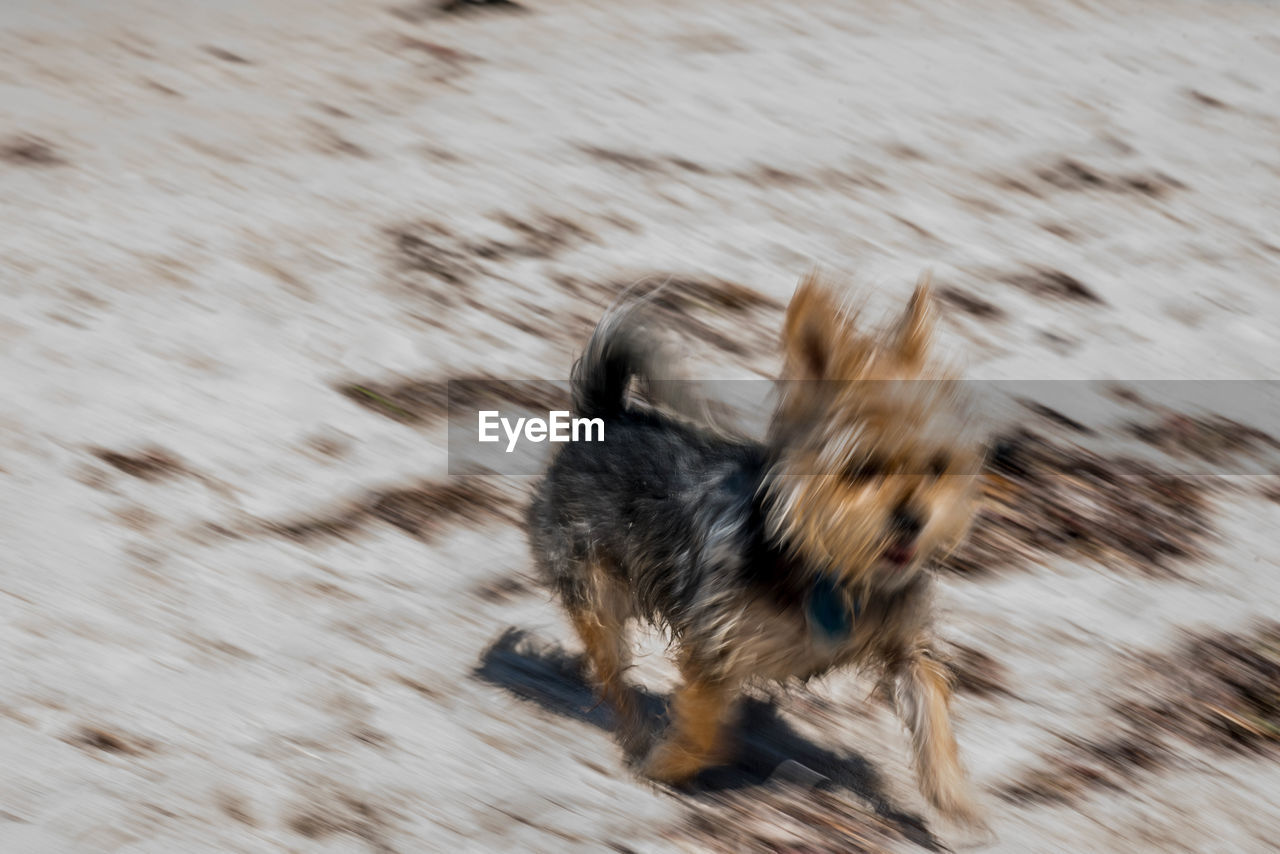 one animal, animal themes, animal, mammal, domestic, pets, domestic animals, motion, blurred motion, dog, canine, vertebrate, land, running, no people, day, speed, nature, animals in the wild, animal wildlife