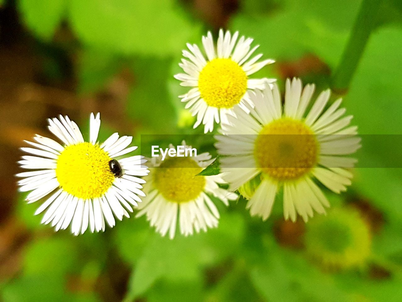 flower, flowering plant, plant, vulnerability, fragility, yellow, petal, flower head, freshness, beauty in nature, close-up, inflorescence, daisy, growth, animal themes, invertebrate, insect, pollen, white color, animal, no people, pollination