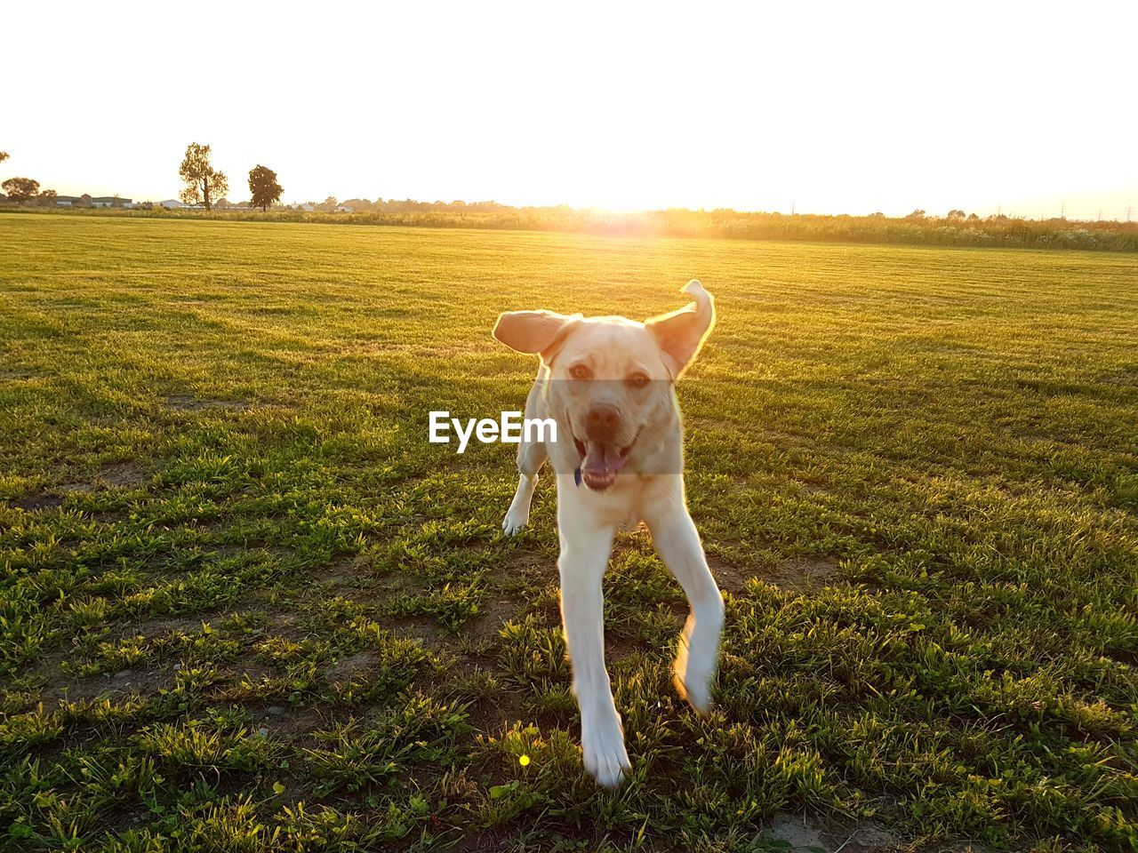 domestic, pets, domestic animals, mammal, one animal, canine, dog, animal themes, animal, grass, field, vertebrate, land, plant, sky, landscape, nature, running, no people, day, outdoors, lens flare, mouth open