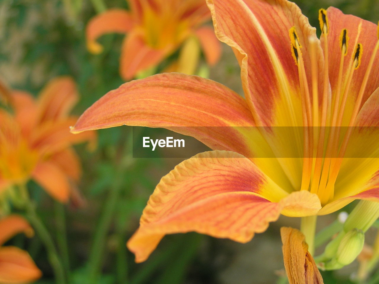 flower, petal, orange color, flower head, growth, freshness, day lily, beauty in nature, fragility, nature, close-up, no people, focus on foreground, plant, day, stamen, lily, blooming, outdoors