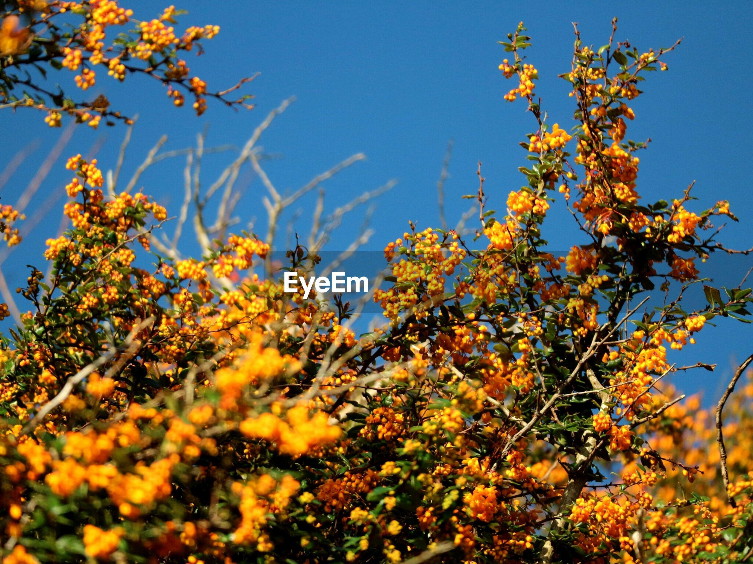Low Angle View Of Flower Tree Against Clear Blue Sky