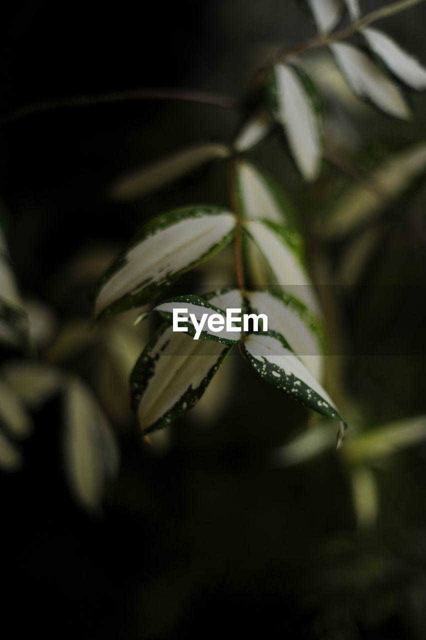 selective focus, growth, close-up, plant, leaf, plant part, no people, green color, beauty in nature, nature, freshness, day, tranquility, focus on foreground, outdoors, fragility, vulnerability, flower, studio shot