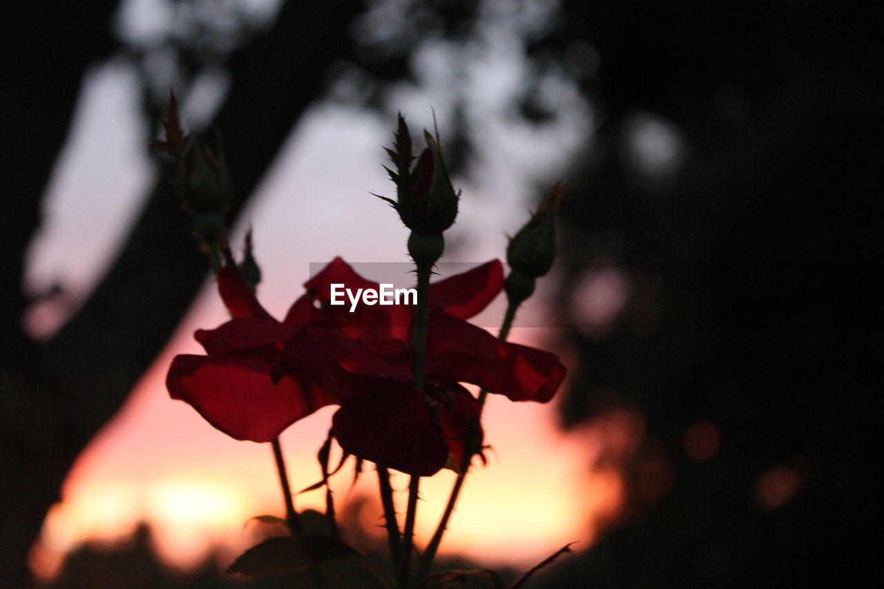 nature, sunset, focus on foreground, growth, outdoors, beauty in nature, flower, red, plant, close-up, no people, fragility, sky, tree, freshness, day