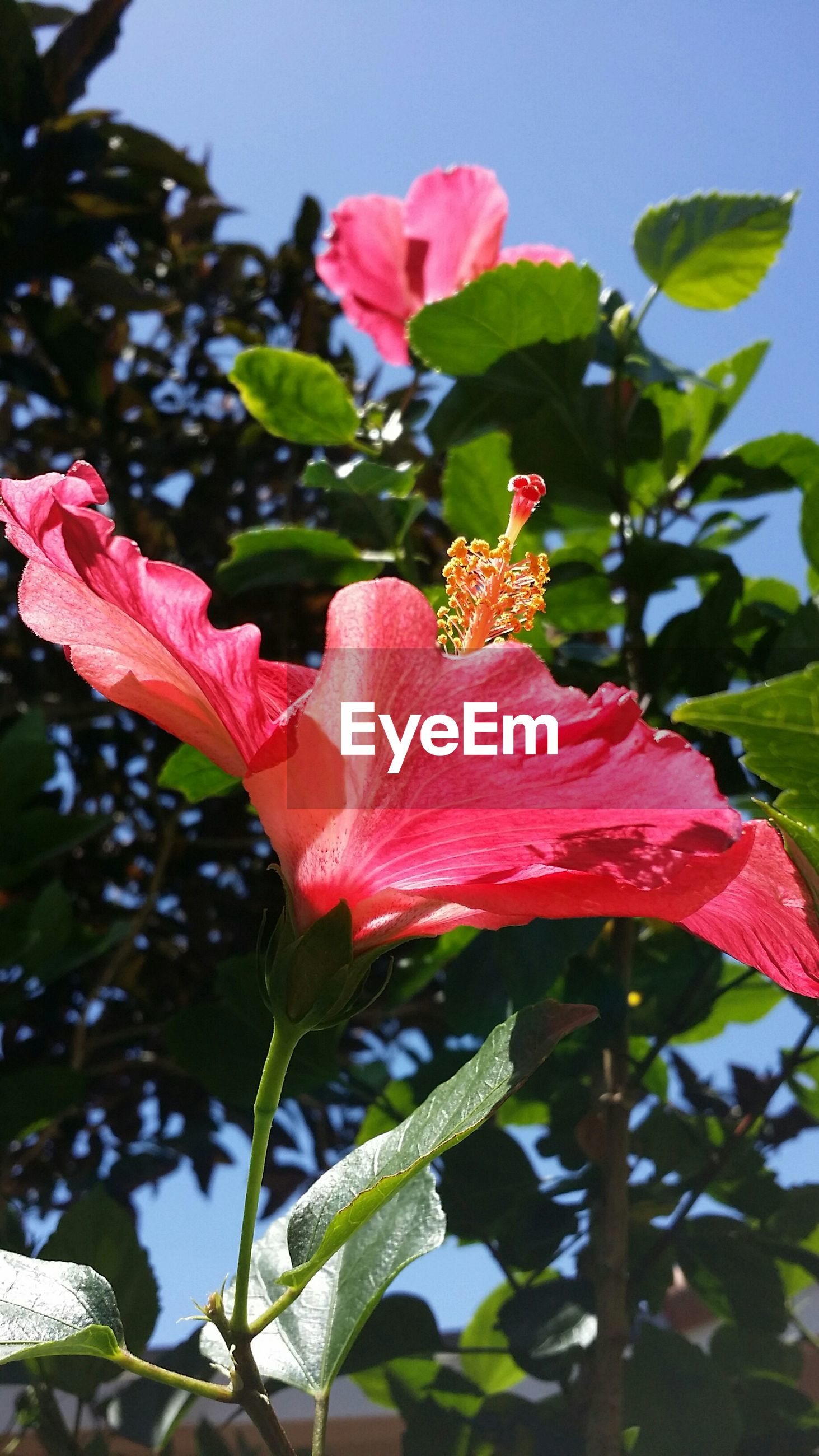 Close-up of hibiscus blooming in park
