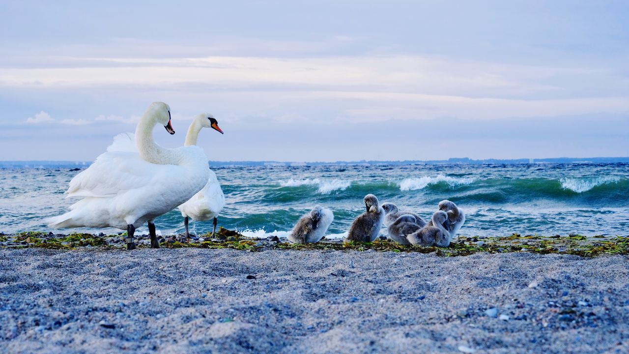 Swans And Cygnets At Beach