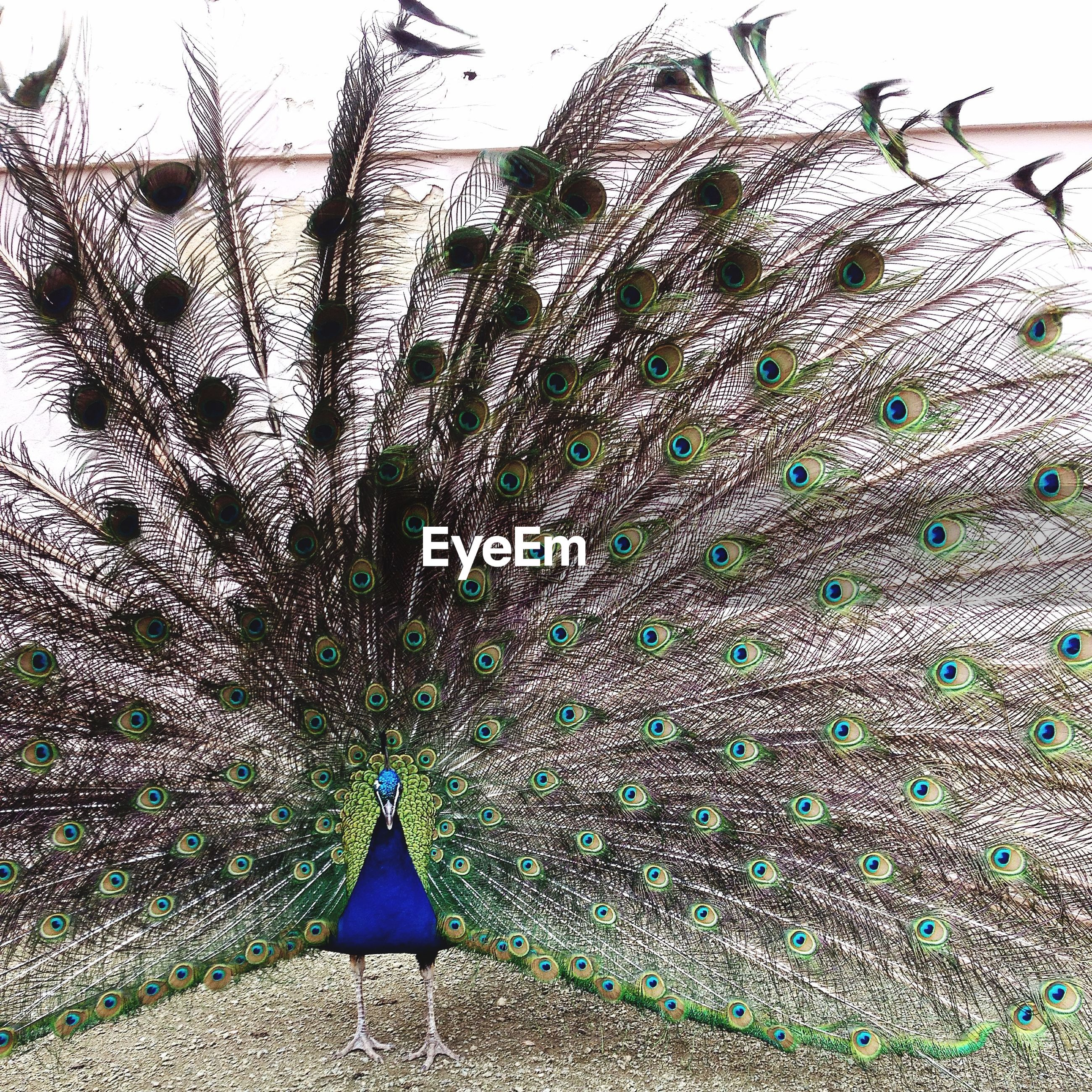 Peacock with feathers spread out on full display