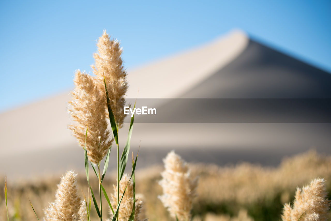 plant, focus on foreground, beauty in nature, nature, growth, close-up, no people, day, tranquility, sky, land, field, landscape, selective focus, grass, outdoors, sunlight, tranquil scene, clear sky, rural scene, stalk