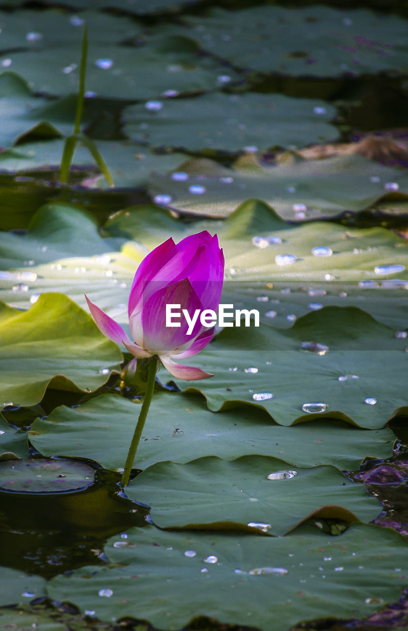 flower, flowering plant, beauty in nature, vulnerability, petal, fragility, water, water lily, freshness, pink color, lake, plant, growth, close-up, inflorescence, leaf, lotus water lily, flower head, plant part, floating on water, no people, springtime, purple