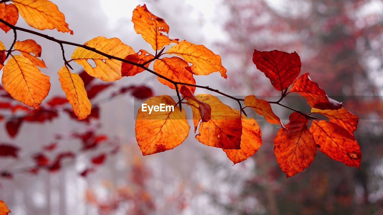 CLOSE-UP OF AUTUMNAL LEAVES AGAINST BLURRED TREES