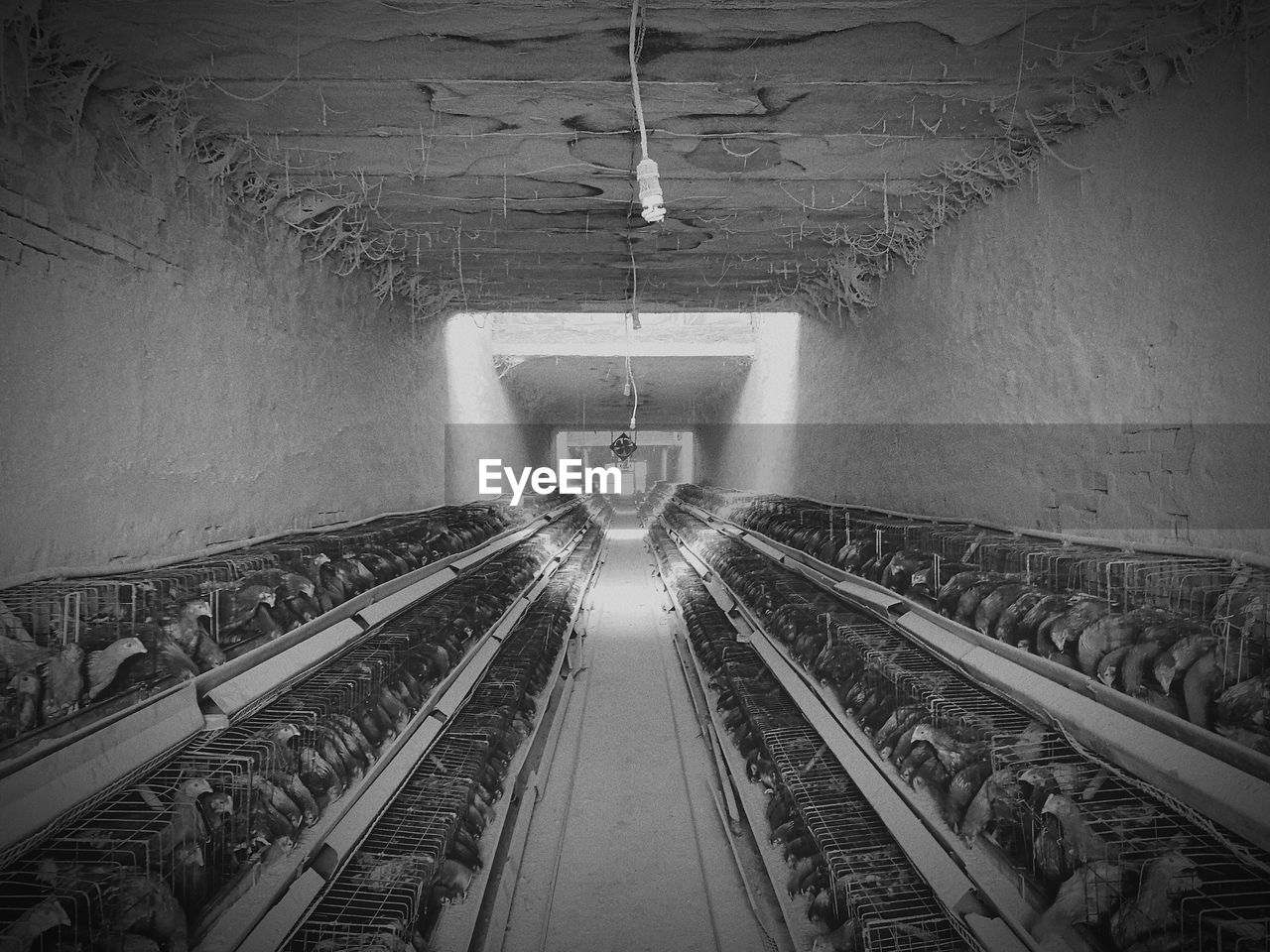Row Of Chickens In Cages At Poultry Farm
