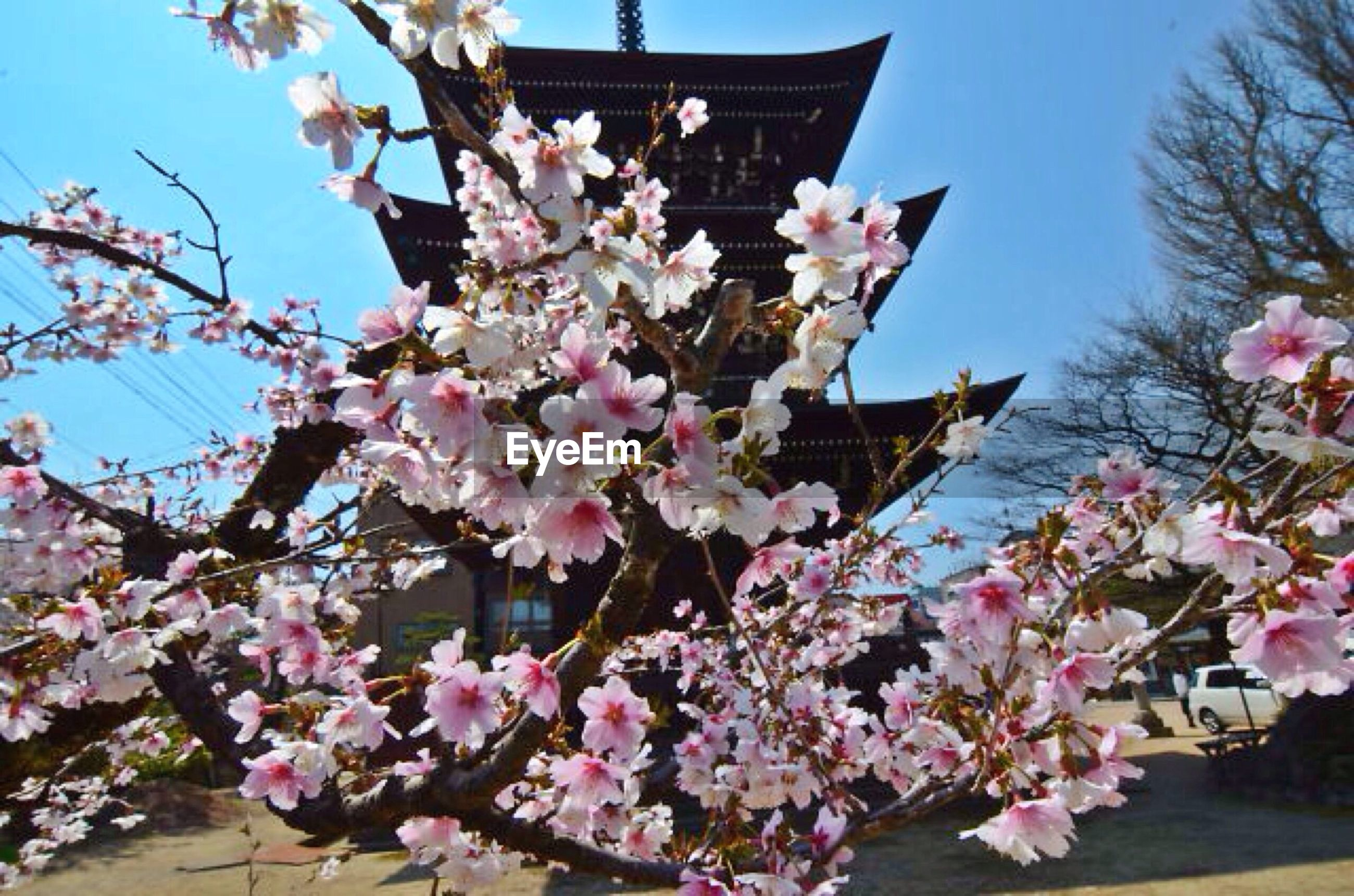 Cherry Blossoms In Front Of Pagoda