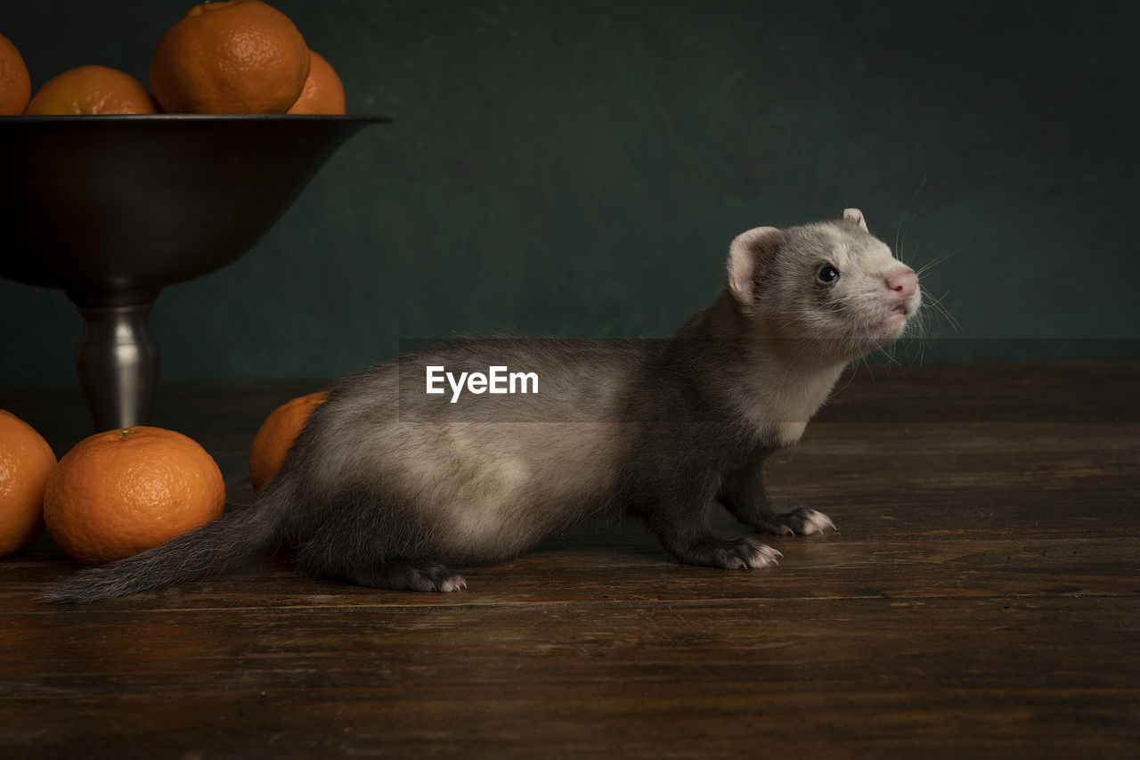 A young ferret or polecat puppy in a stillife scene with tangerines against a green background