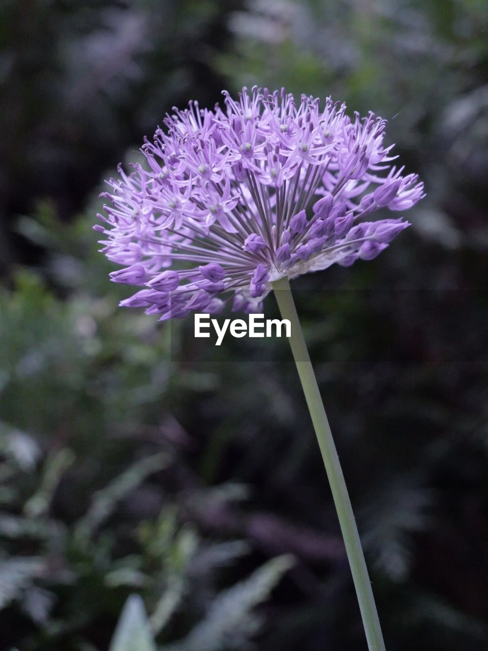 flower, flowering plant, vulnerability, fragility, freshness, plant, growth, close-up, beauty in nature, focus on foreground, petal, inflorescence, flower head, purple, nature, no people, day, field, land, plant stem, sepal
