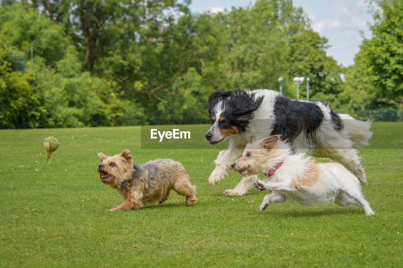 mammal, domestic, pets, domestic animals, animal, animal themes, canine, dog, group of animals, plant, tree, running, two animals, day, grass, motion, green color, vertebrate, no people, outdoors, shih tzu, border collie
