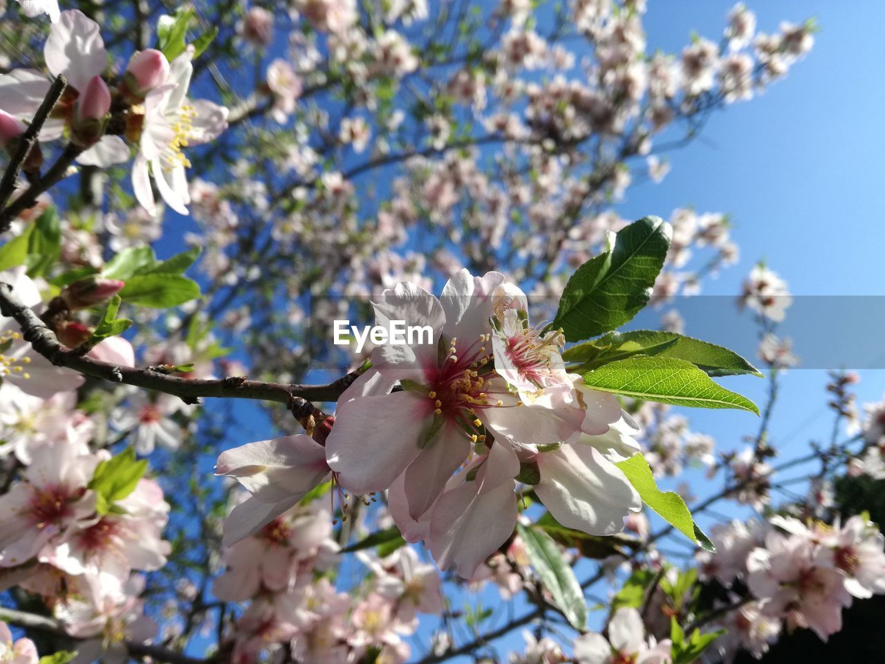 flowering plant, plant, fragility, flower, vulnerability, freshness, growth, blossom, tree, beauty in nature, petal, springtime, low angle view, nature, branch, close-up, cherry blossom, day, flower head, inflorescence, no people, pollen, cherry tree, outdoors, spring