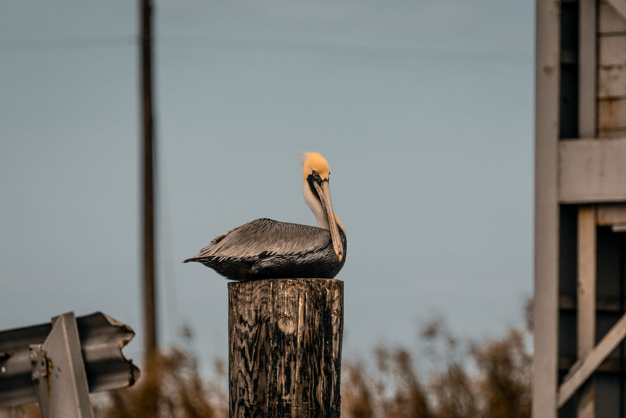 bird, vertebrate, animal wildlife, animals in the wild, animal themes, animal, one animal, focus on foreground, no people, wood - material, perching, nature, day, selective focus, built structure, outdoors, beak, close-up, wooden post, post, animal neck