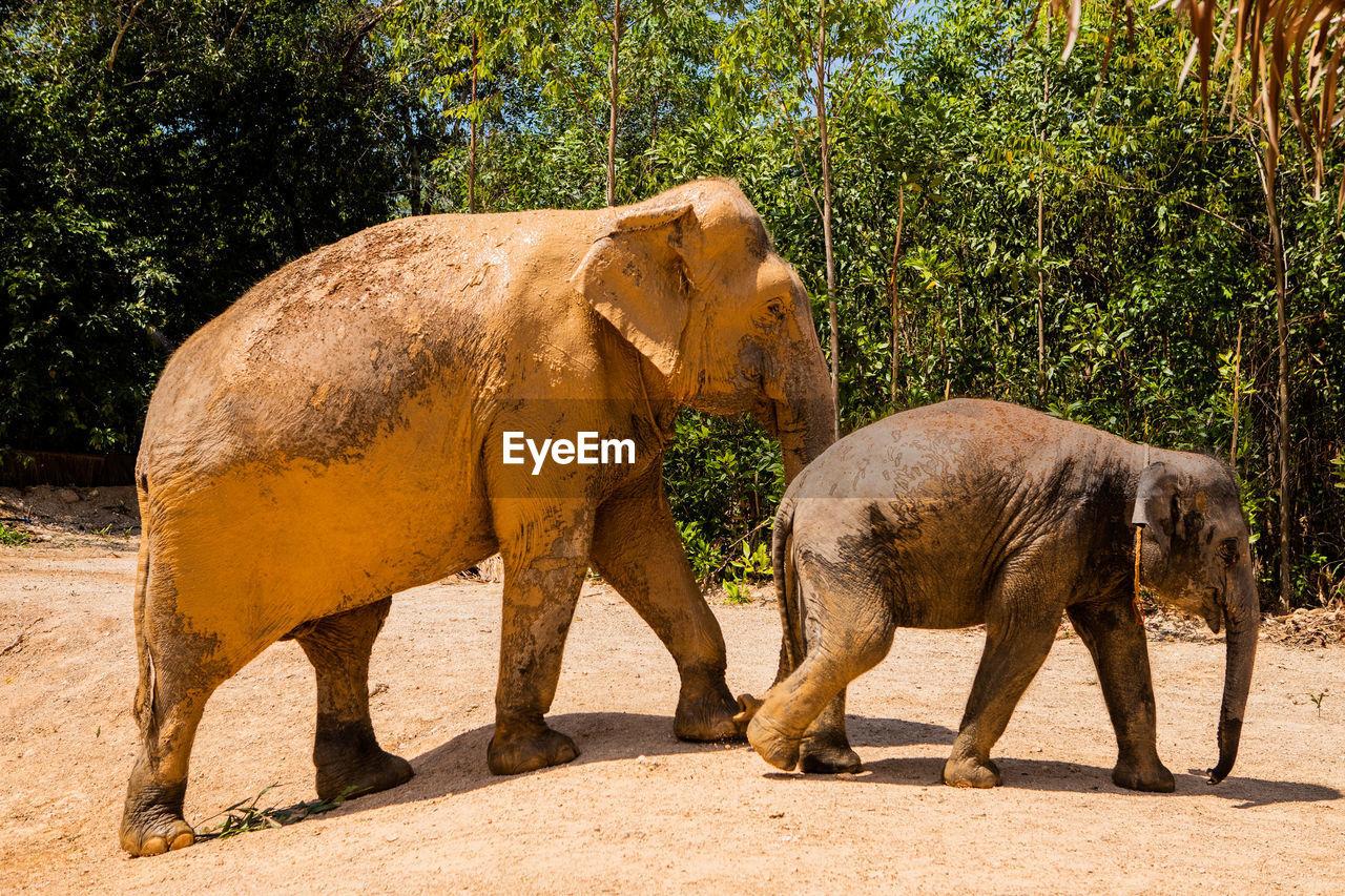 Elephants walking on ground